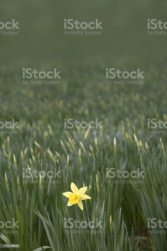 The first bloom royalty-free stock photo