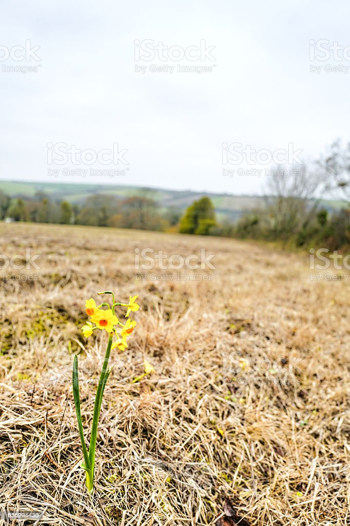 The First Daffodil. stock photo