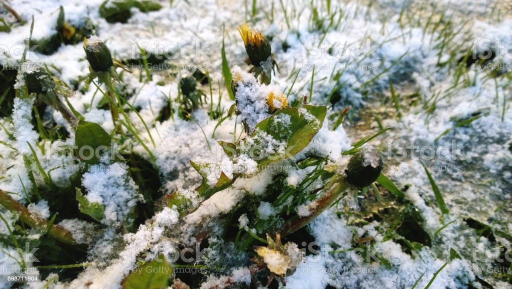 The first flowers-dandelions under the snowfall stock photo