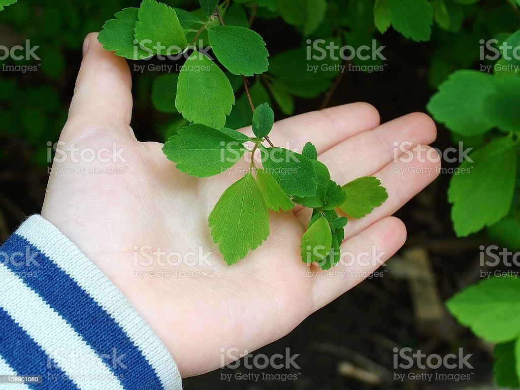 The first green leaves royalty-free stock photo
