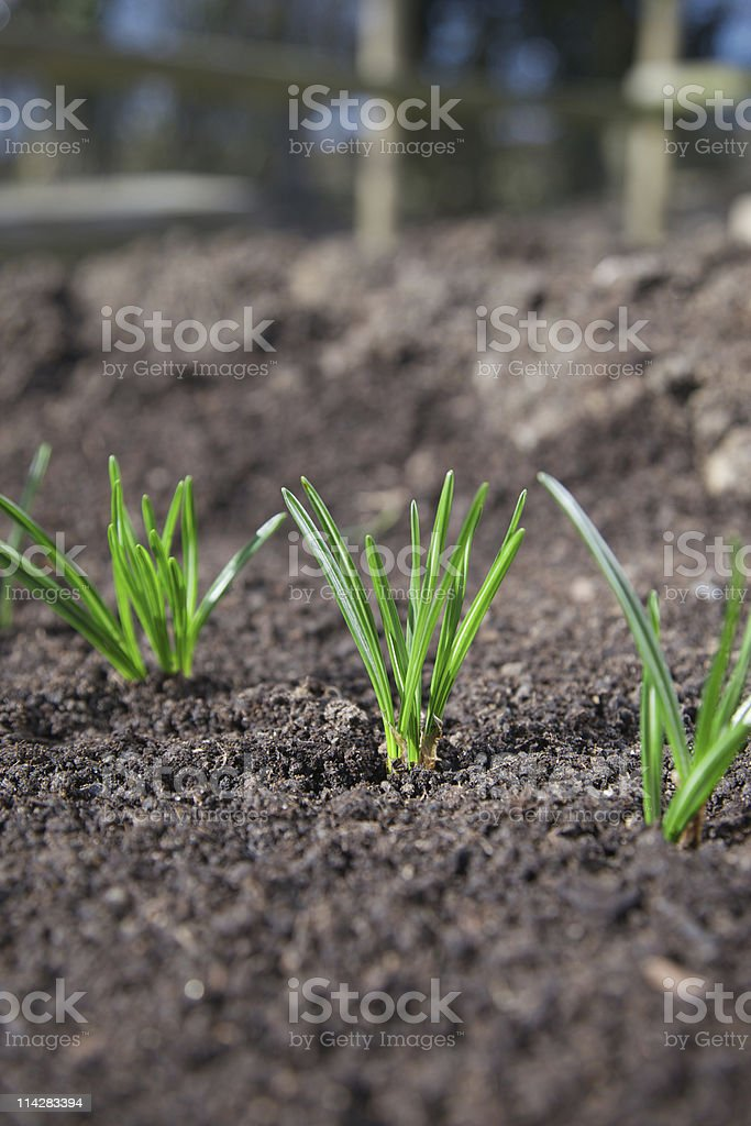 The first signs of spring... royalty-free stock photo