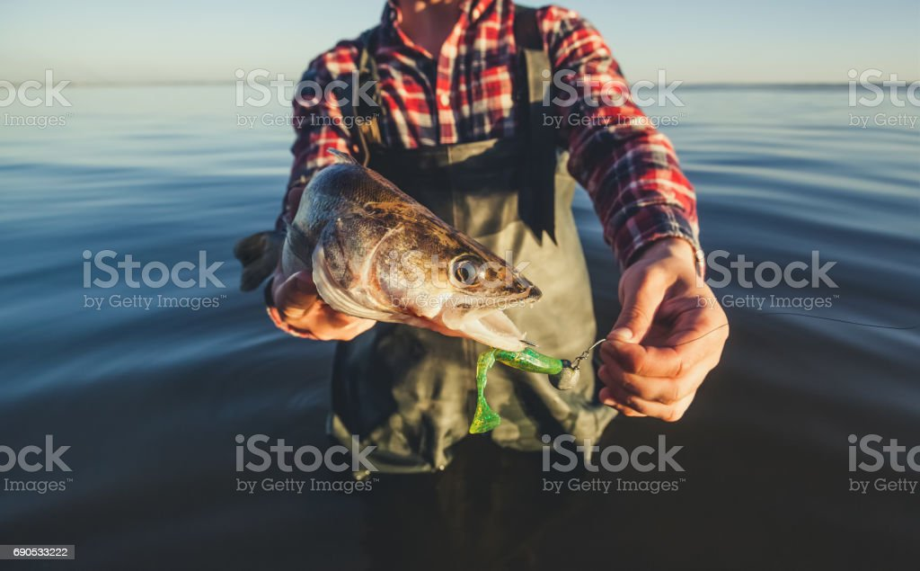 The fisherman in the red shirt is holding a fish Zander caught on a hook stock photo