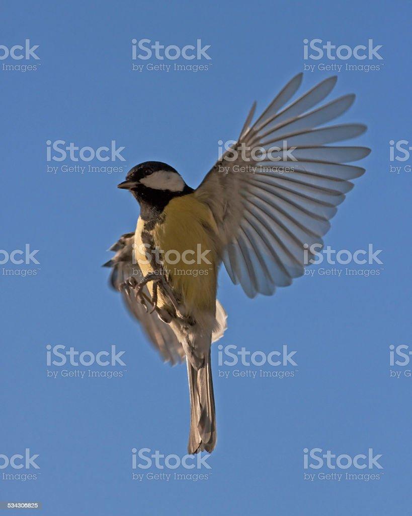 The flight of titmouse stock photo
