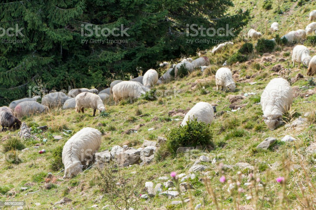 The flock of sheep in the Bucegi Mountains stock photo