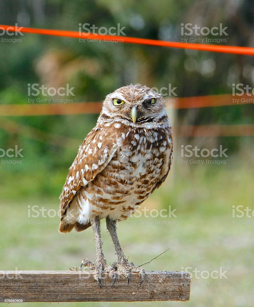 The Florida Burrowing Owl stock photo