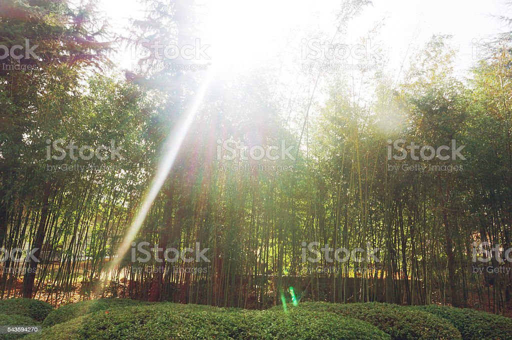 The flourish bamboo forest with glorious morning sunshine. stock photo