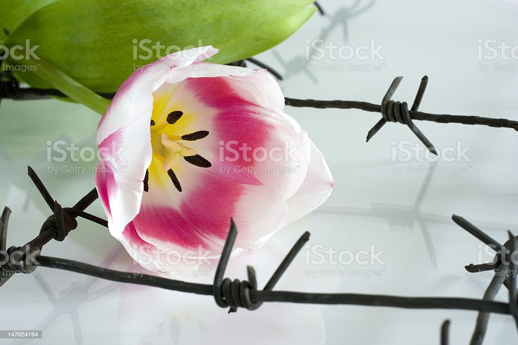 The Flower and barbed wire. royalty-free stock photo