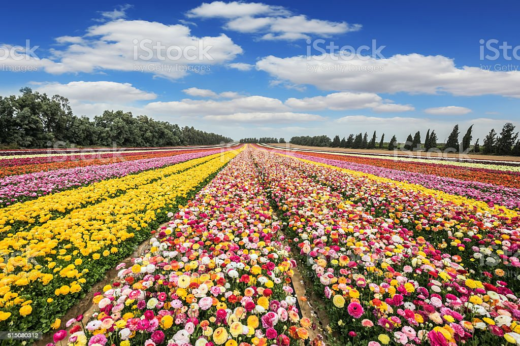 The flower carpet of colorful  buttercups stock photo