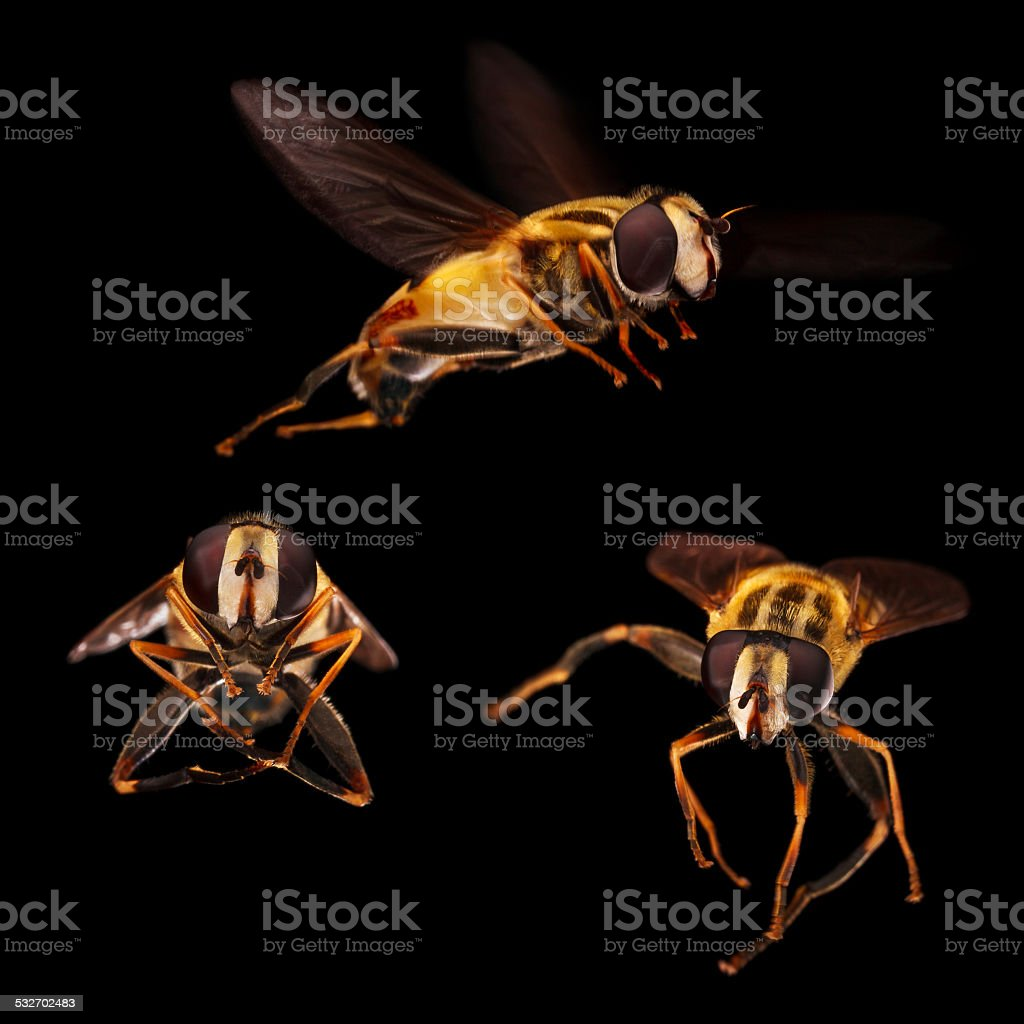 The Flower Flies in black background. stock photo