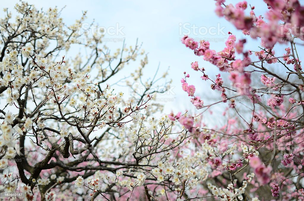 The flower of white and a peach-colored plum royalty-free stock photo