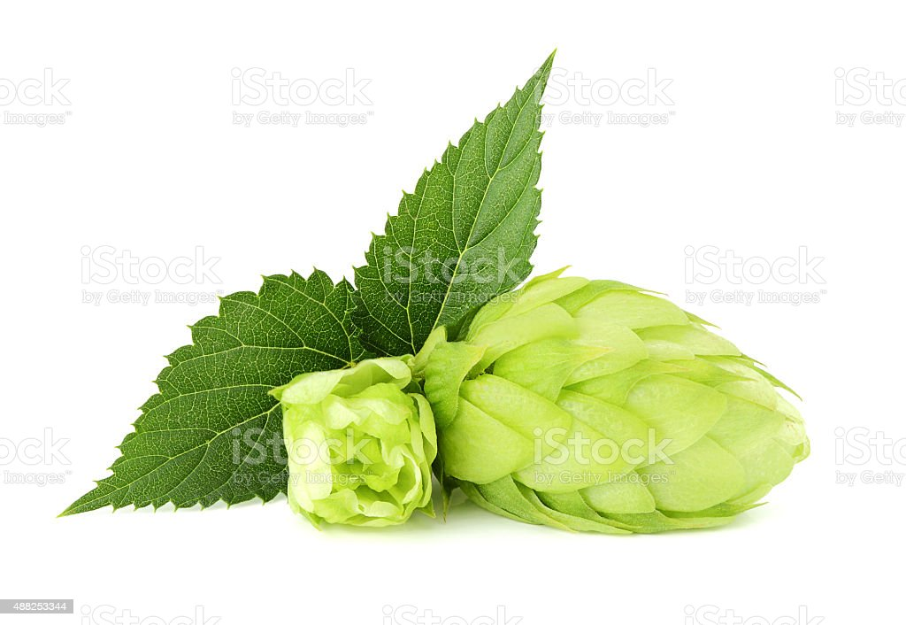 The flower with the leaf hops. stock photo