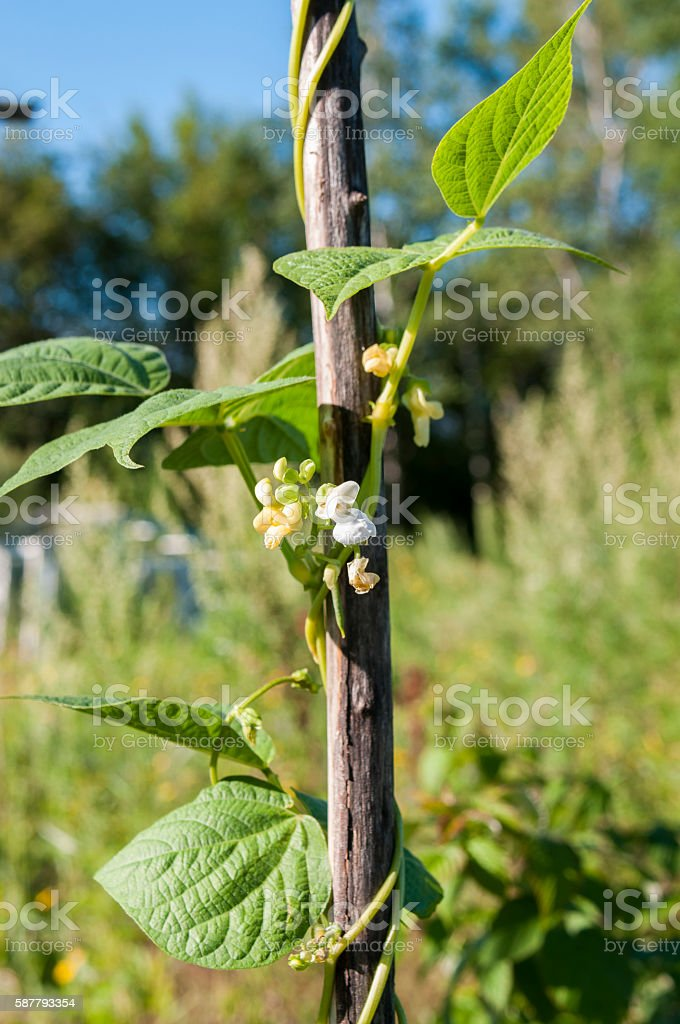 The flowers are green beans in the garden stock photo