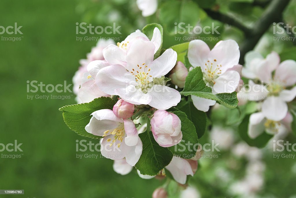 The flowers of  apple stock photo