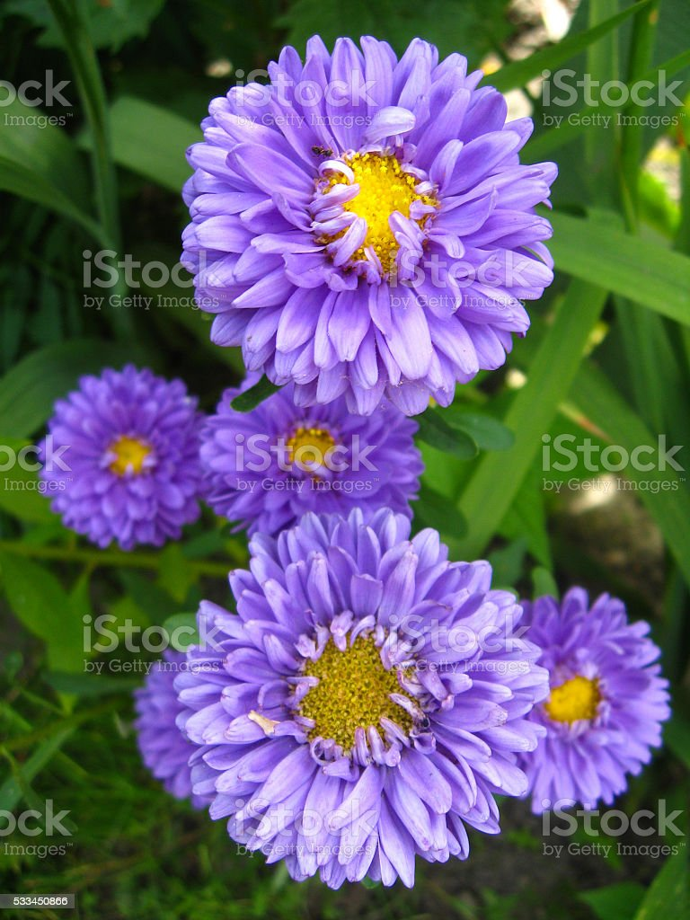 The flowers of blue beautiful aster stock photo