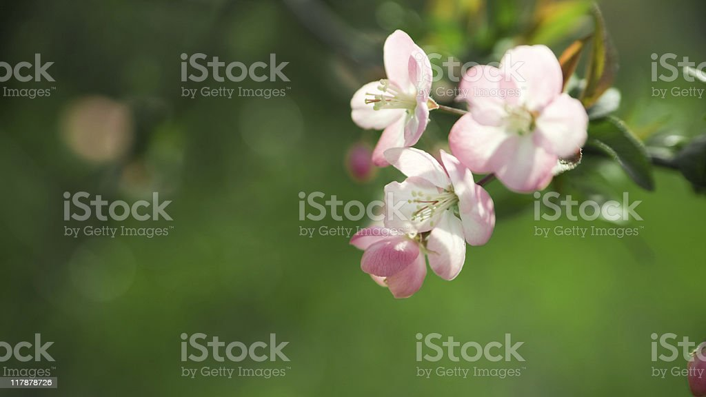 The flowers of chinese crab apple royalty-free stock photo