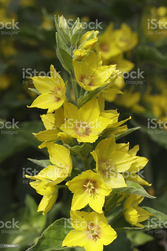 Yellow loosestrife Lysimachia vulgaris close up stock photo