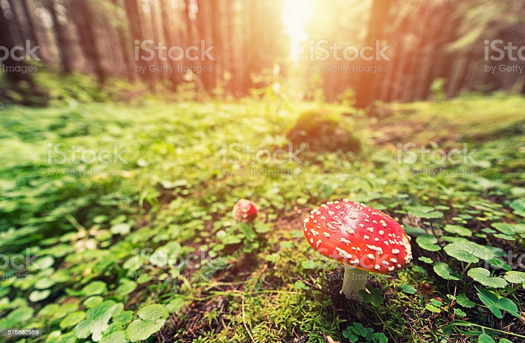 The Fly agaric in sunny forest, Amanita muscaria stock photo