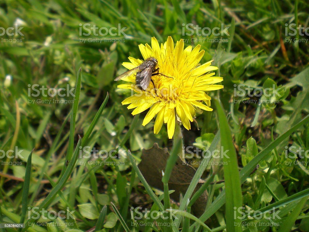 The fly sitting on a yellow dandelion stock photo