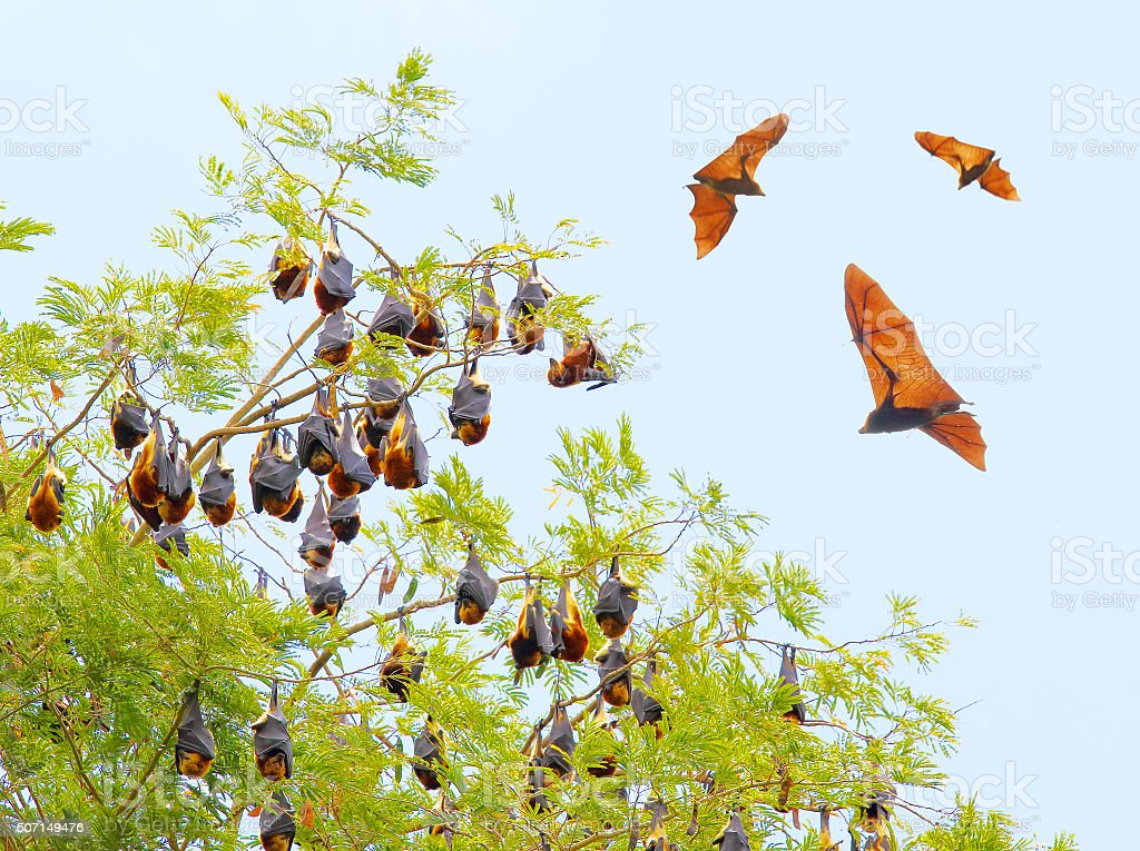 The Flying Fox. stock photo