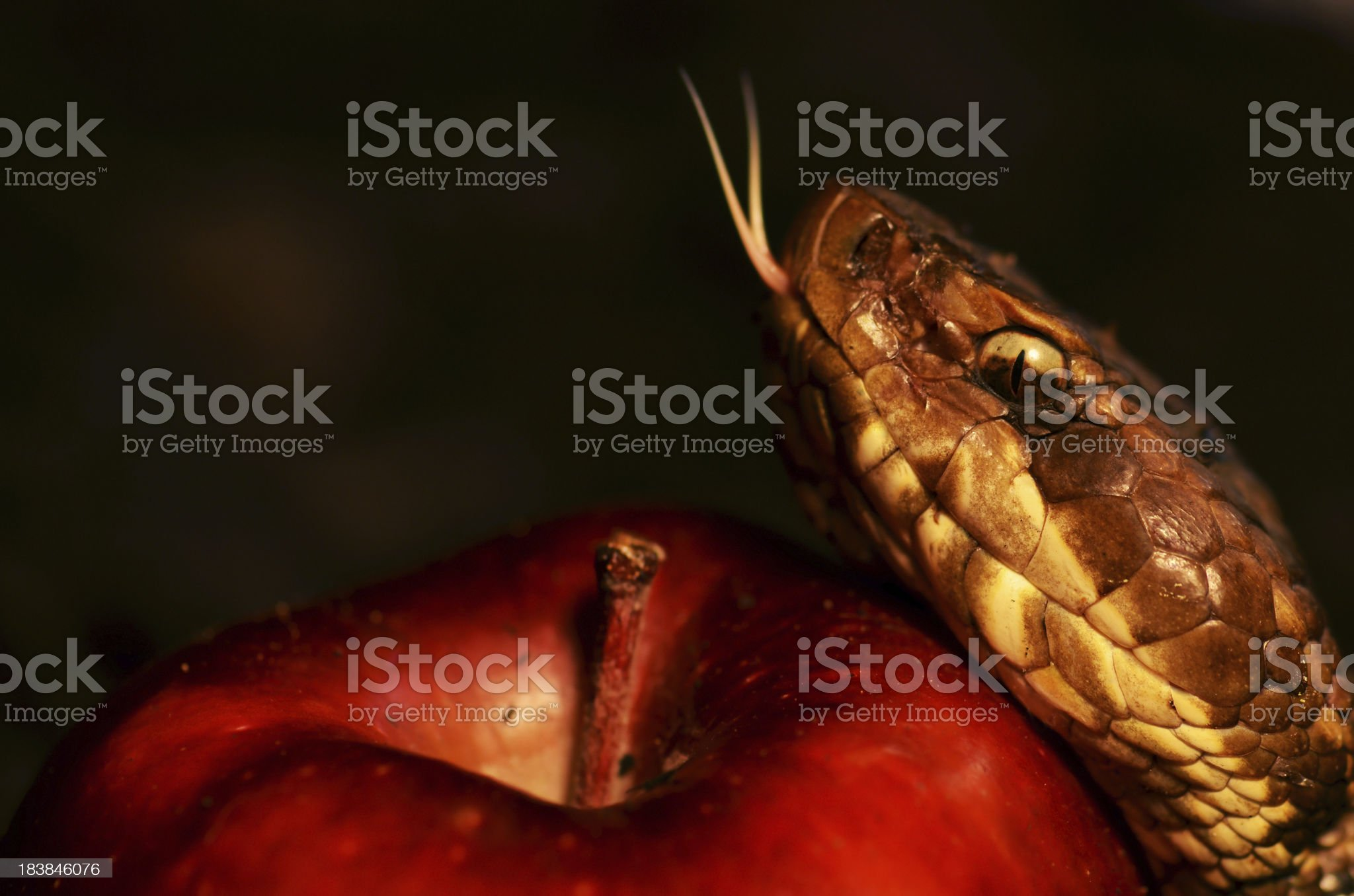 The Forbidden Fruit royalty-free stock photo