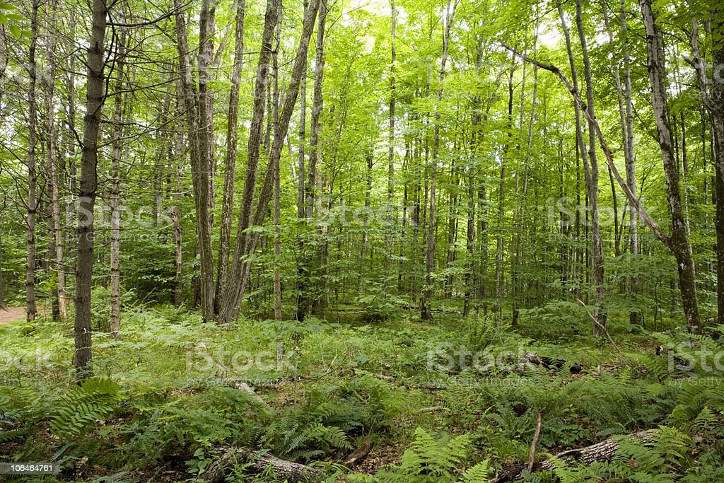 The Forest Floor royalty-free stock photo