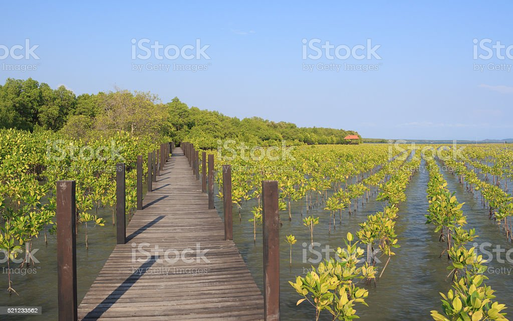 The forest mangrove with wooden walkway bridge stock photo