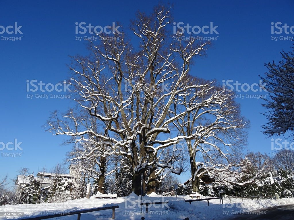 The four linden trees from Murnau stock photo