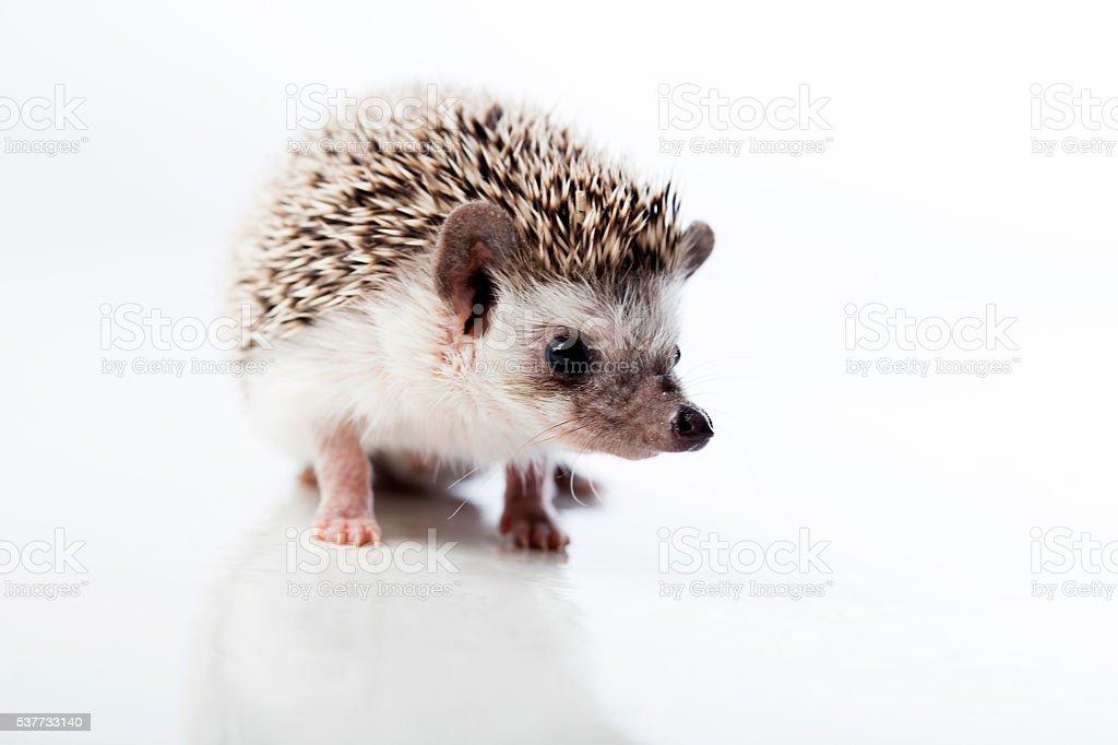 The four-toed hedgehog (Atelerix albiventris) stock photo