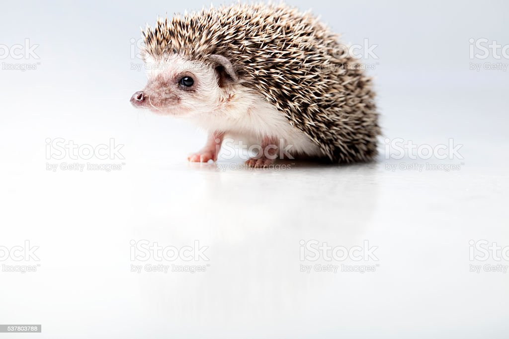 The four-toed hedgehog (Atelerix albiventris) stock photo
