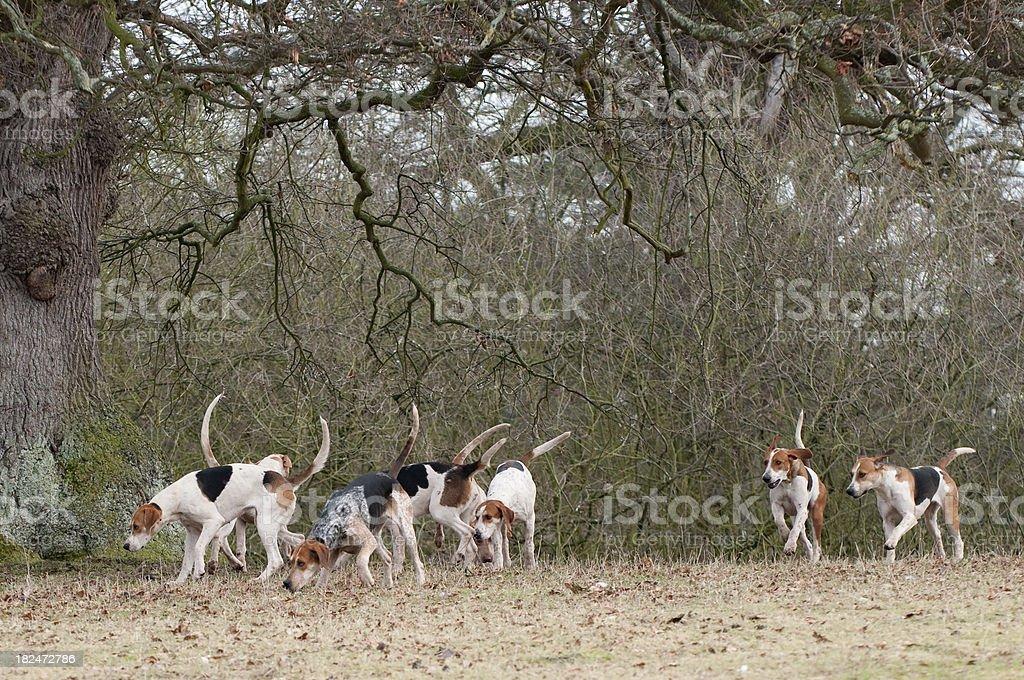 the foxhunt stock photo