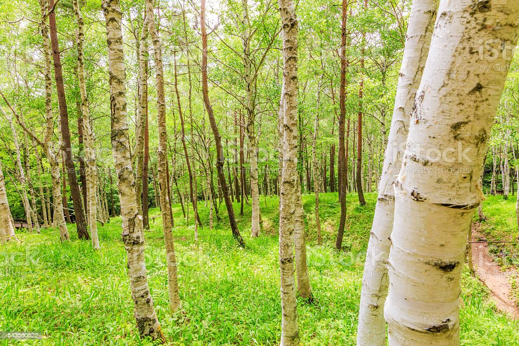 The fresh green of white birch forest stock photo