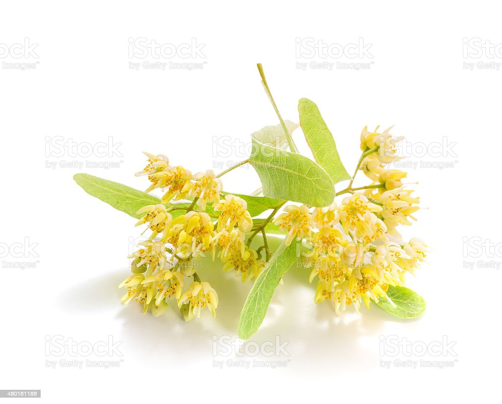 The fresh linden flowers stock photo