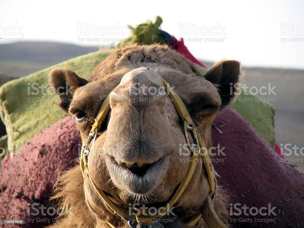 the friendly camel royalty-free stock photo