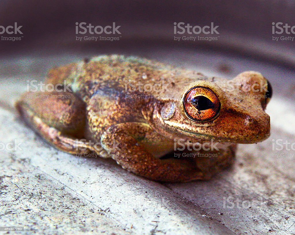 The Frog with Golden Eyes stock photo