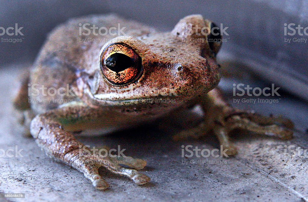 The Frog with the Huge Golen Eyes stock photo