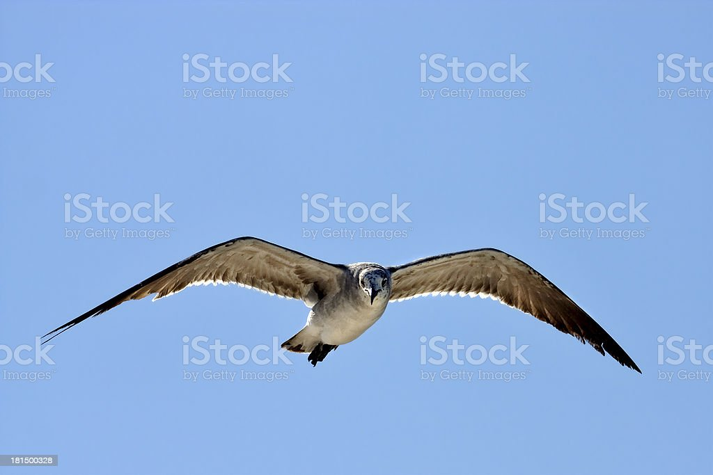 the front of sea gull flying  in   sky royalty-free stock photo