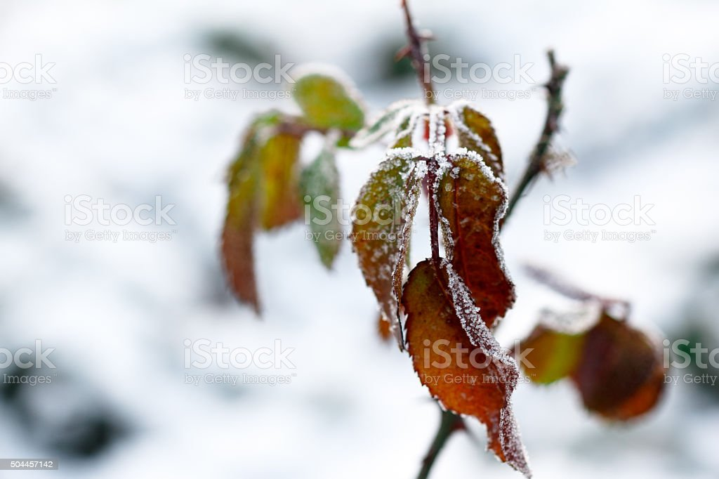 The frost on the leaves. Frozen leaf under the snow stock photo
