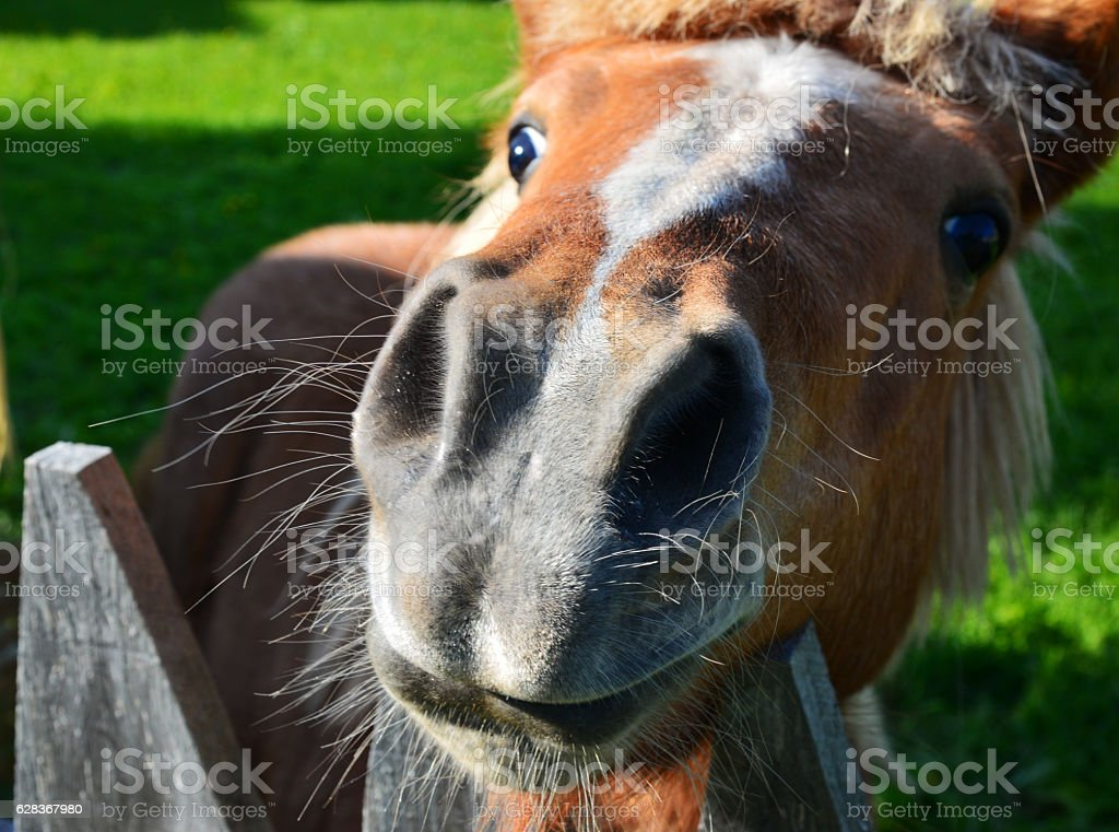 The funny small horse (pony or foal) stock photo