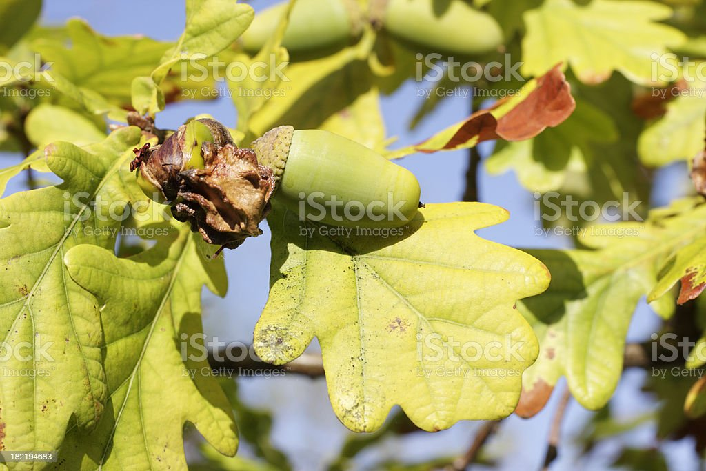 Knopper gall on pedunculate oak acorn Quercus robur stock photo
