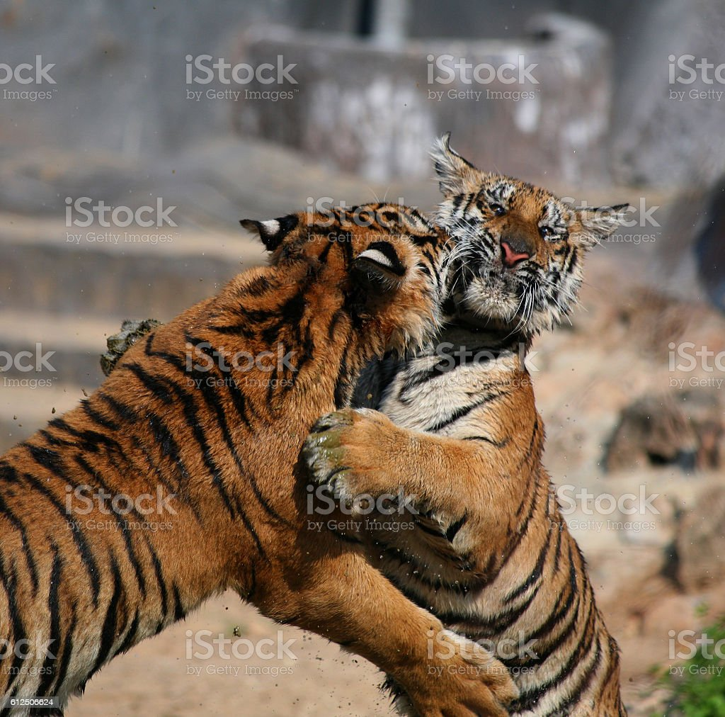 The game the big tigers in the lake, Thailand stock photo