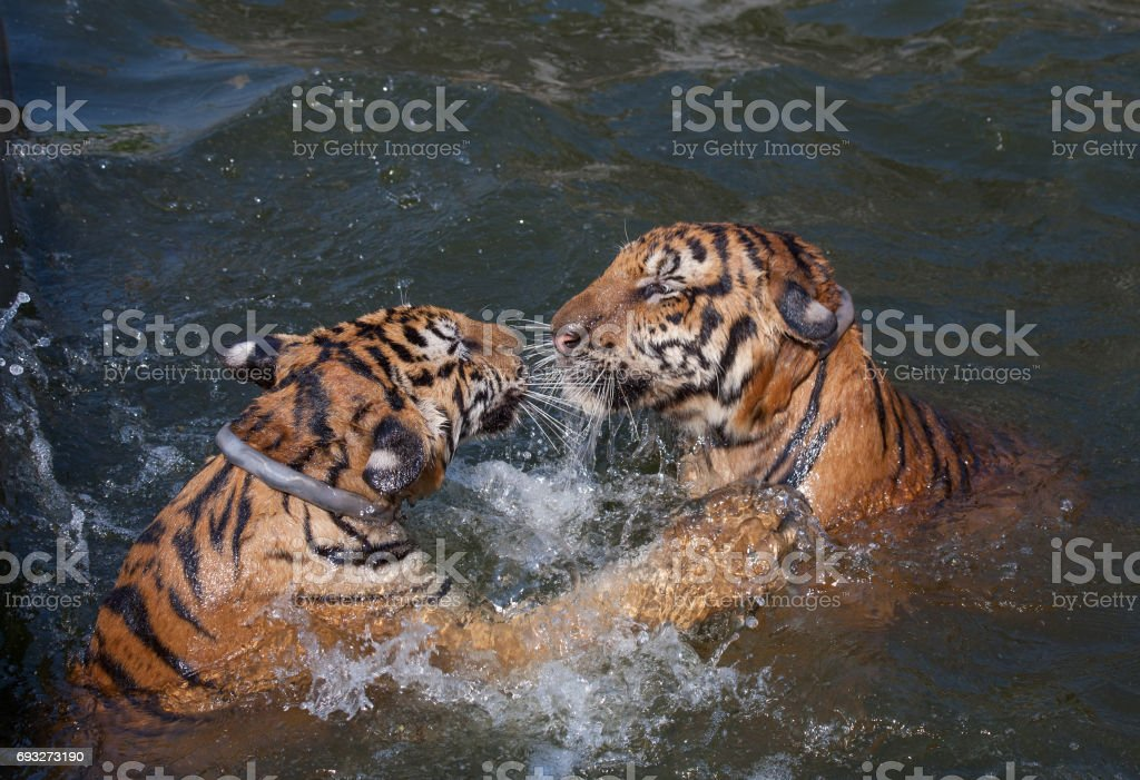 The game the big tigers in the lake, Tiger Temple, Kanchanaburi, Thailand stock photo