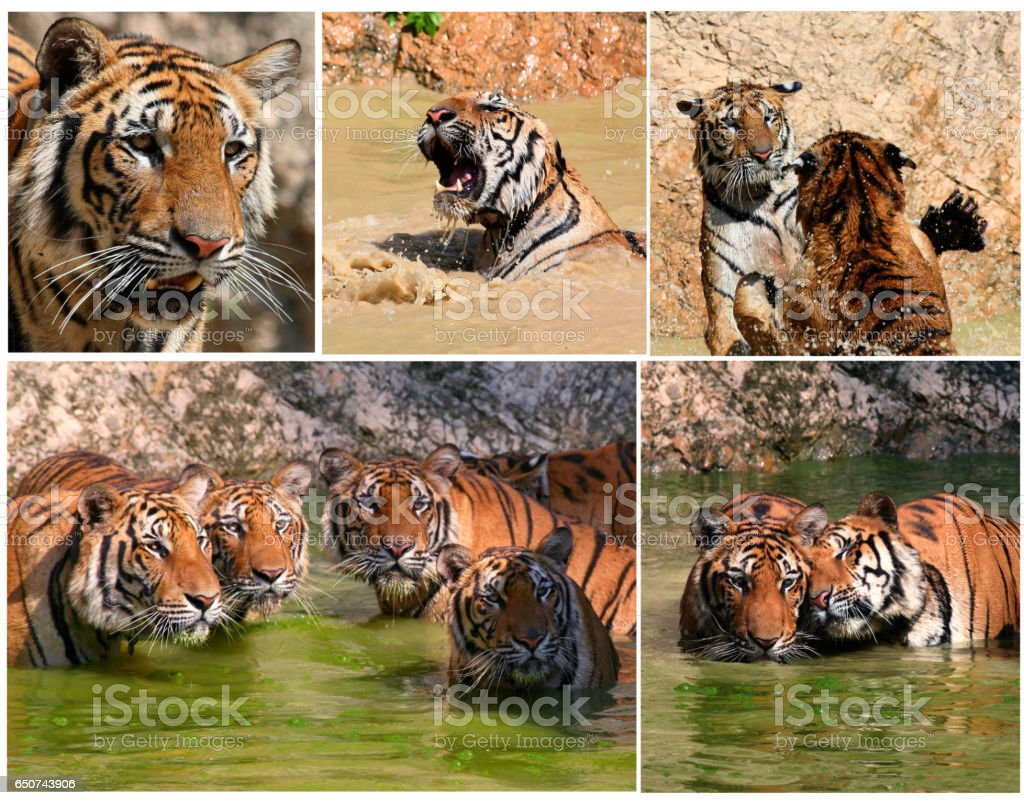 The game the young tigers in the lake stock photo