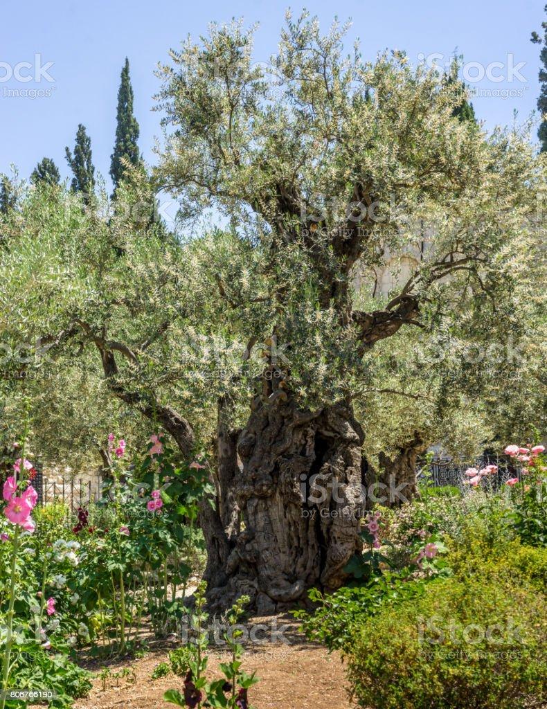 The Garden of Gethsemane in Jerusalem, Israel stock photo
