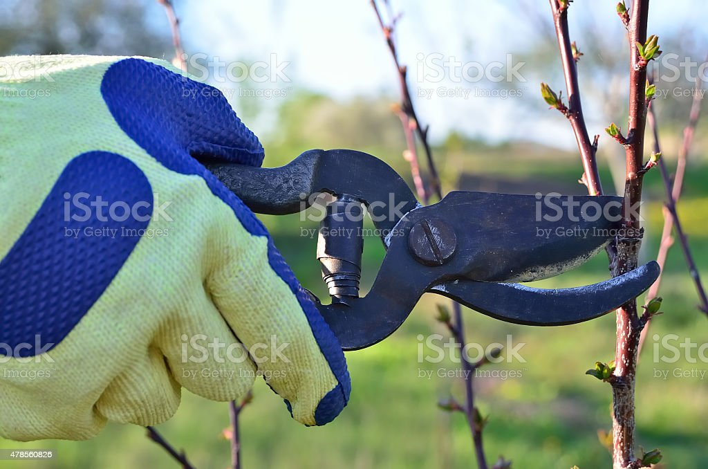The gardener cuts the branches of trees in the garden stock photo