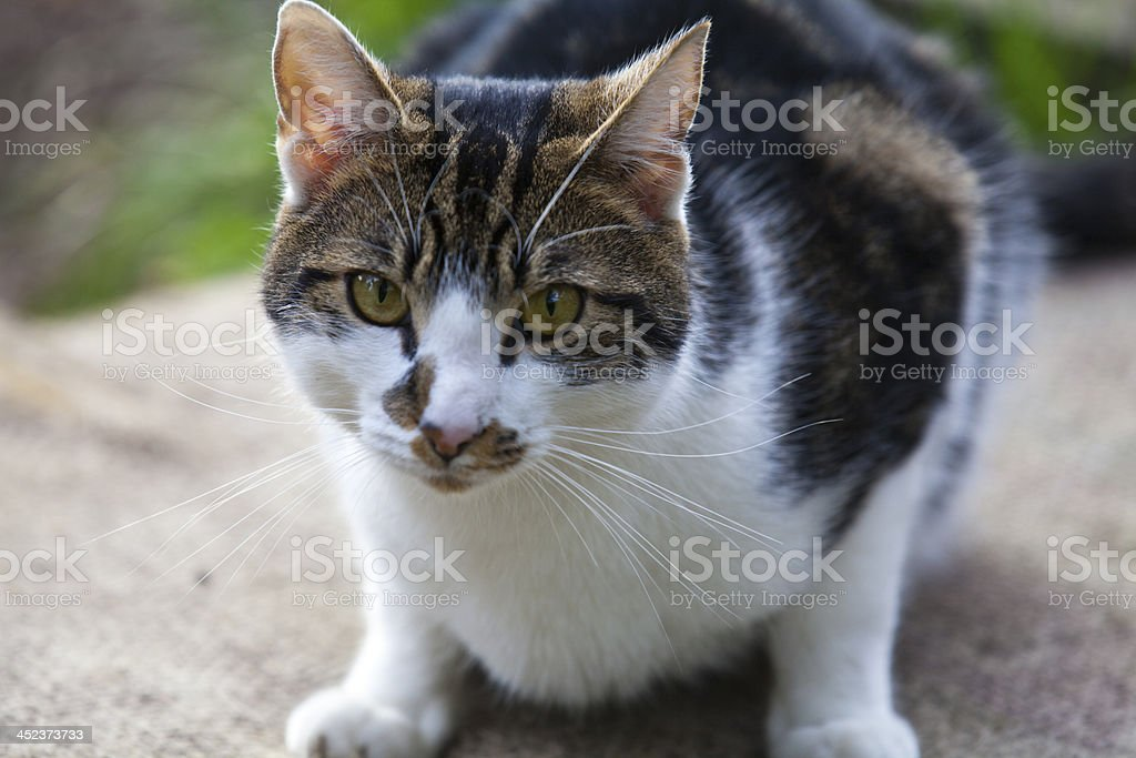 The gaze of a cat royalty-free stock photo