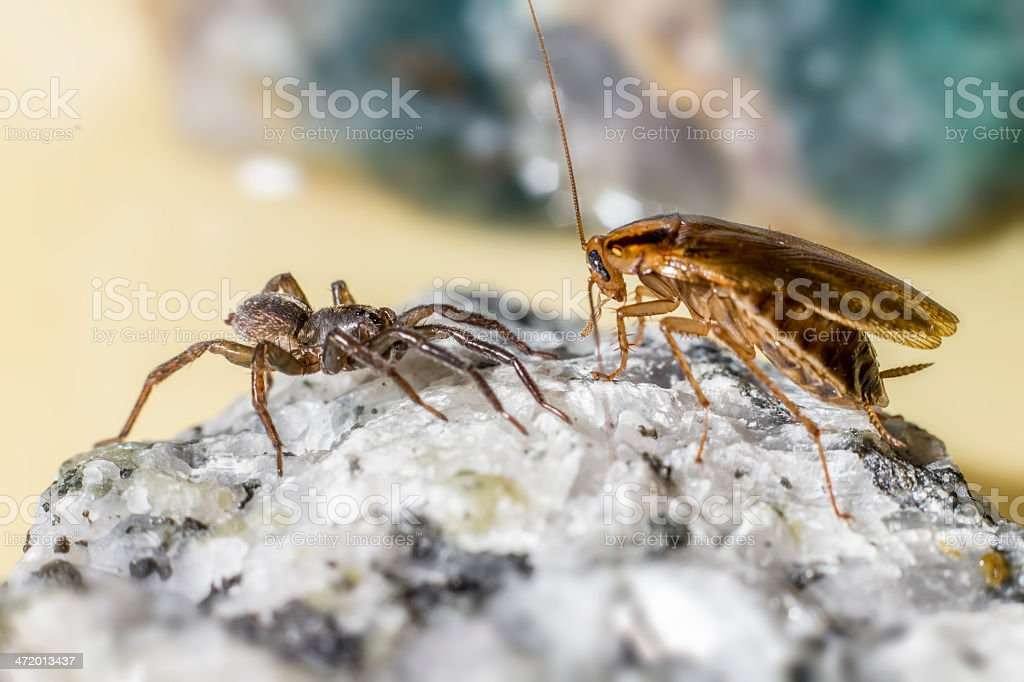 The German cockroach and Ground wolf-spider royalty-free stock photo