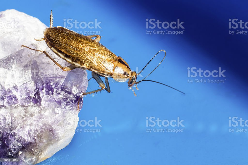 The German cockroach (Blattella germanica) royalty-free stock photo