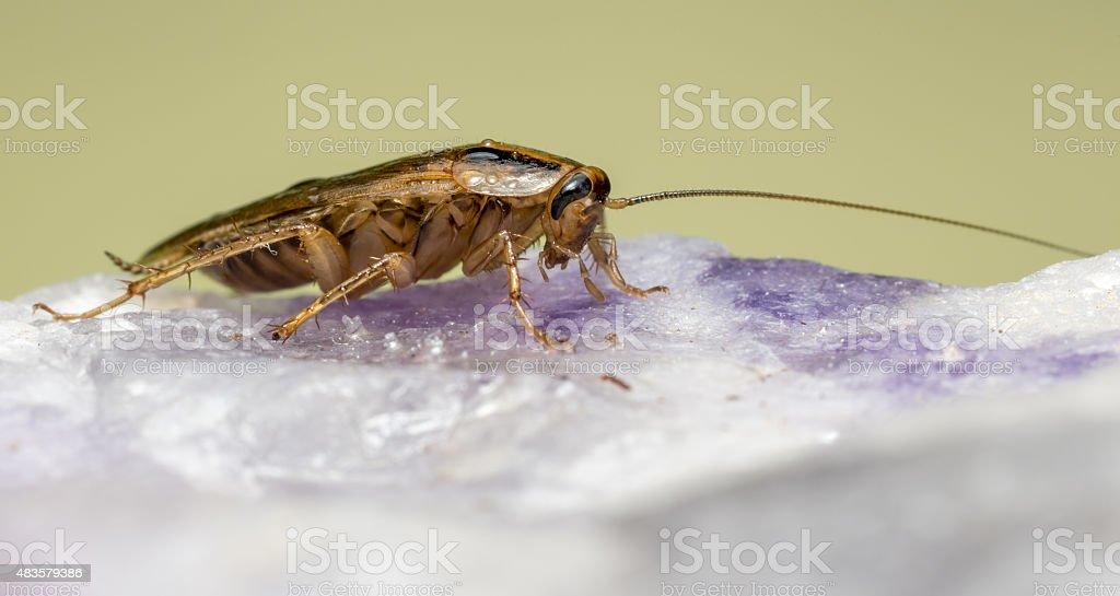 The German cockroach (Blattella germanica) stock photo