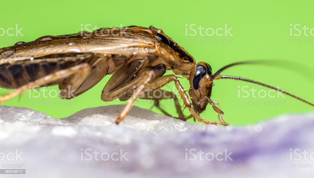 The German cockroach stock photo