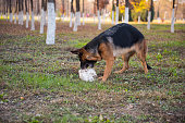 The German shepherd dog eating stone.